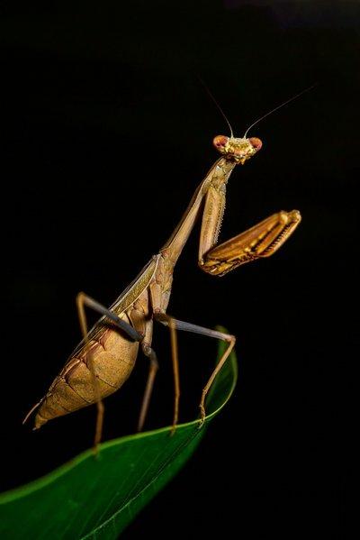 螳螂是益虫还是害虫为什么