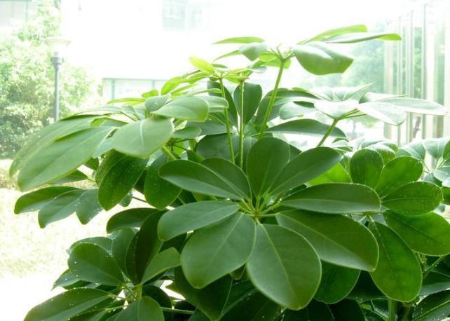 除甲醛排名第一的植物