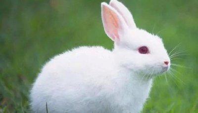 兔子吃什么长得快又胖?兔子吃什么好